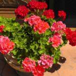 чем подкармливать герань для обильного цветения