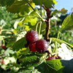 подкормка крыжовника осенью удобрениями