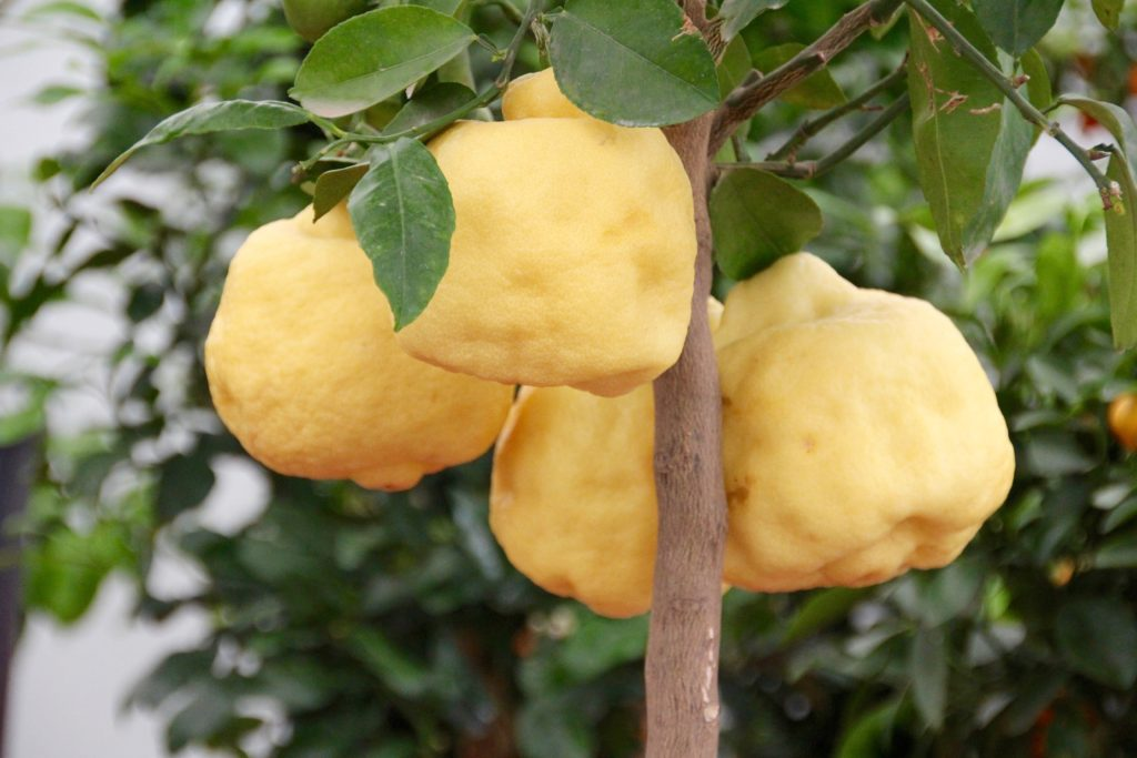 Чем подкармливать лимон в домашних условиях 666