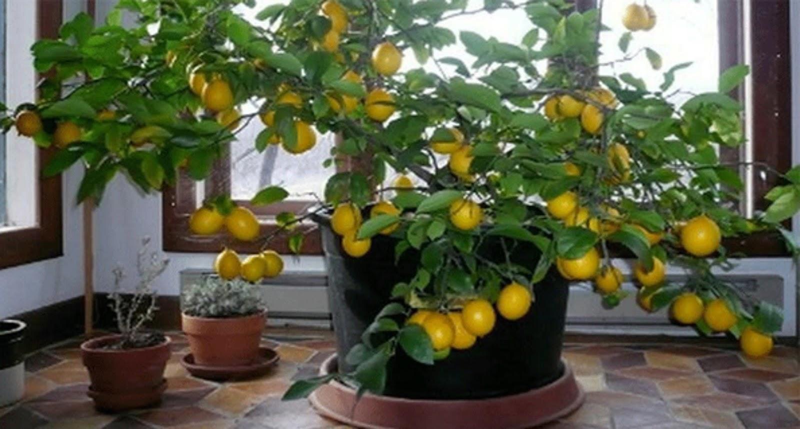 Как сформировать лимон в домашних условиях фото