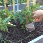 чем подкормить томаты чтобы быстрее наливались плоды