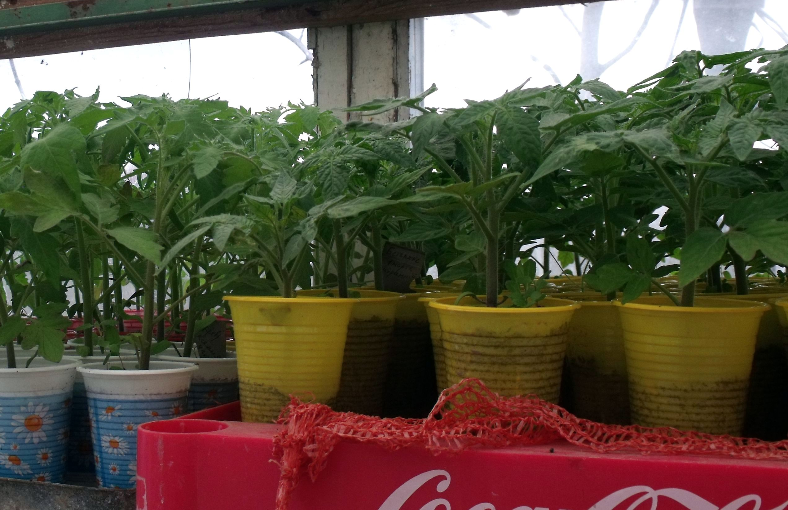 Рассада помидор в домашних условиях: как вырастить рассаду 80