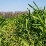 пшеница как сидерат когда сеять