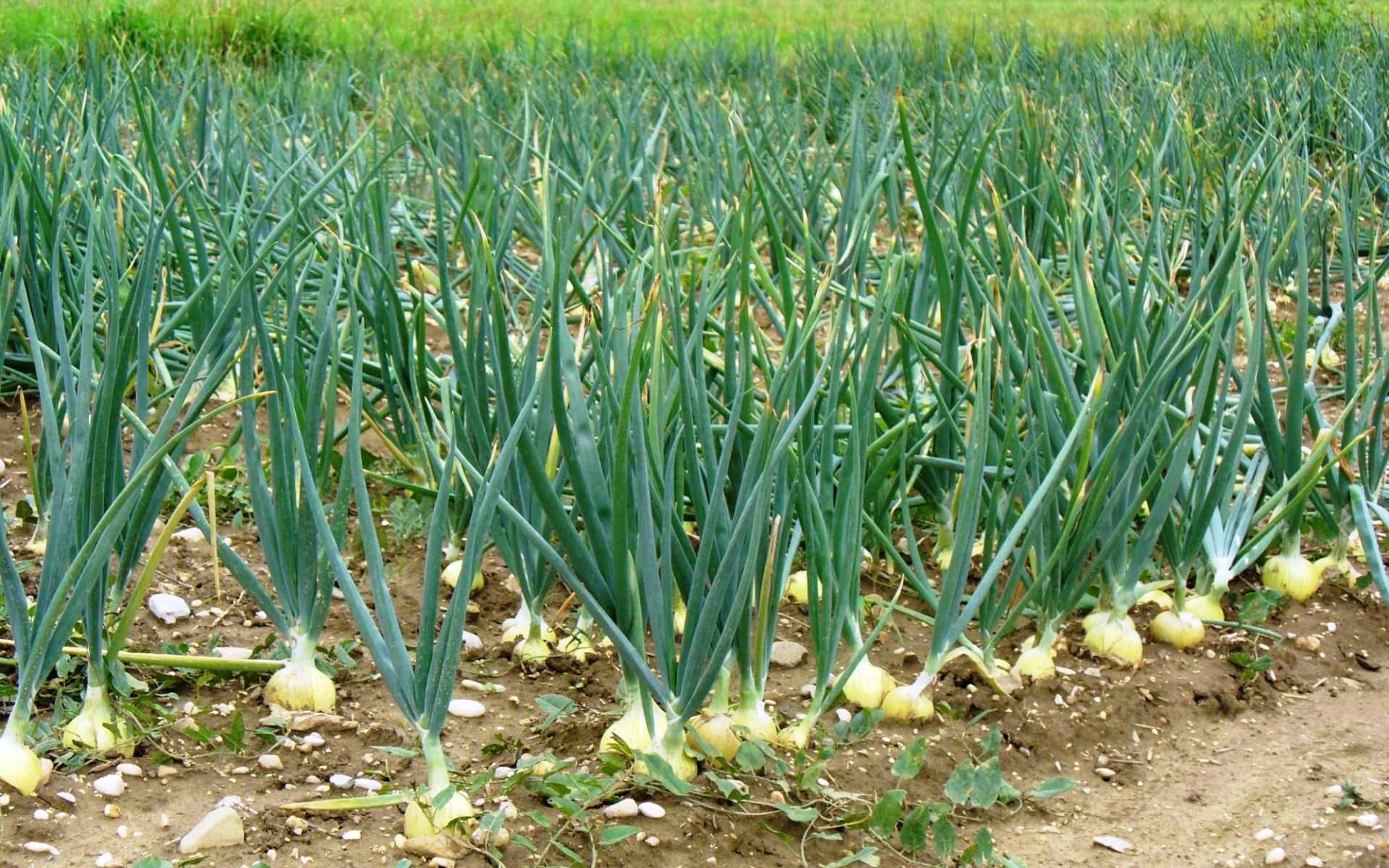 Как правильно сажать лук севок 39