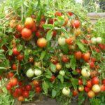 чем подкормить помидоры в августе
