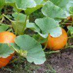 чем подкормить тыкву в открытом грунте