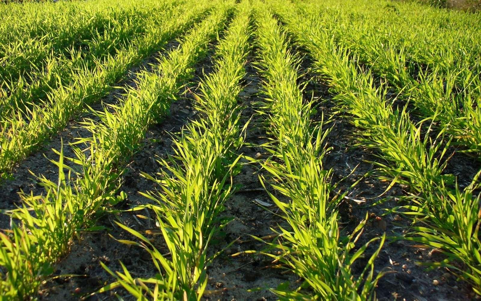 подкормка пшеничных культур