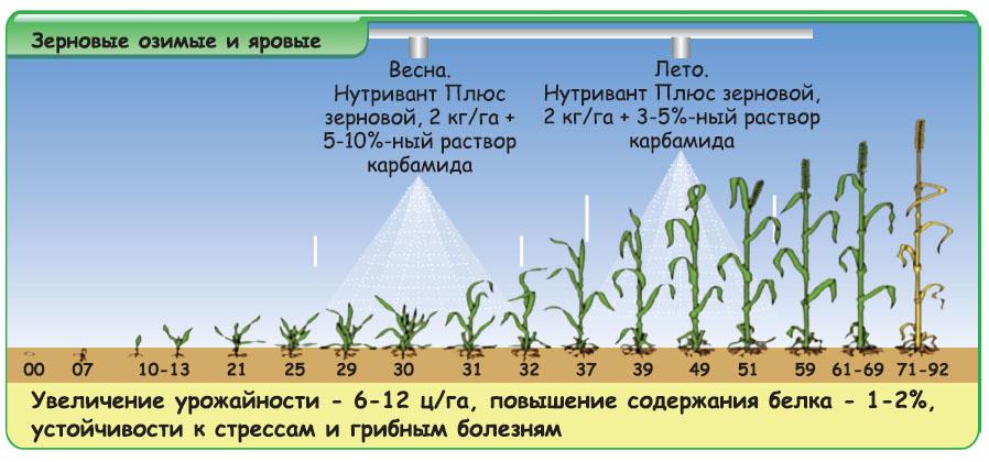 Карбамид: подкормка пшеницы
