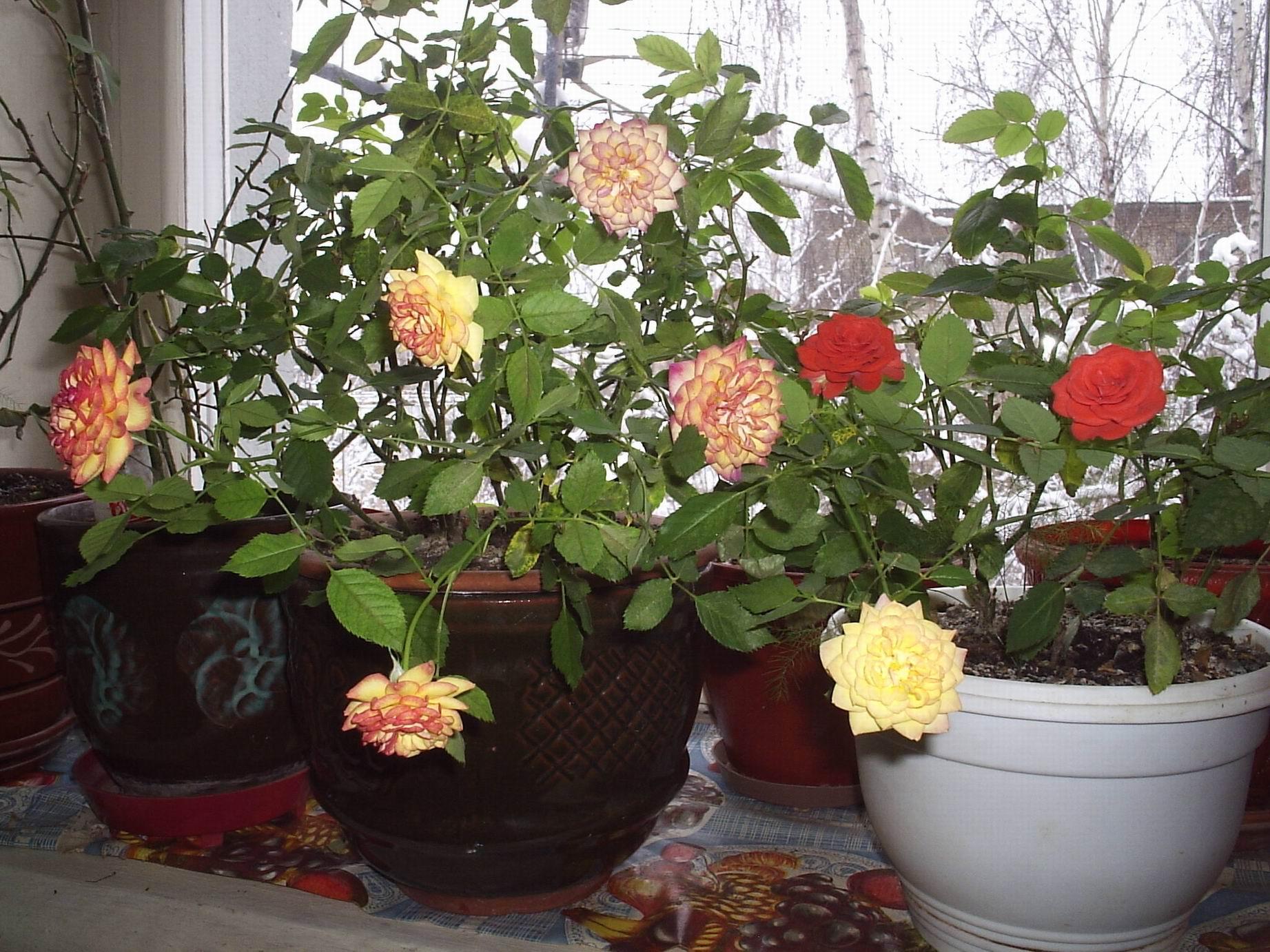 чем подкормить домашнюю розу в домашних условиях