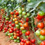 подкормить помидоры