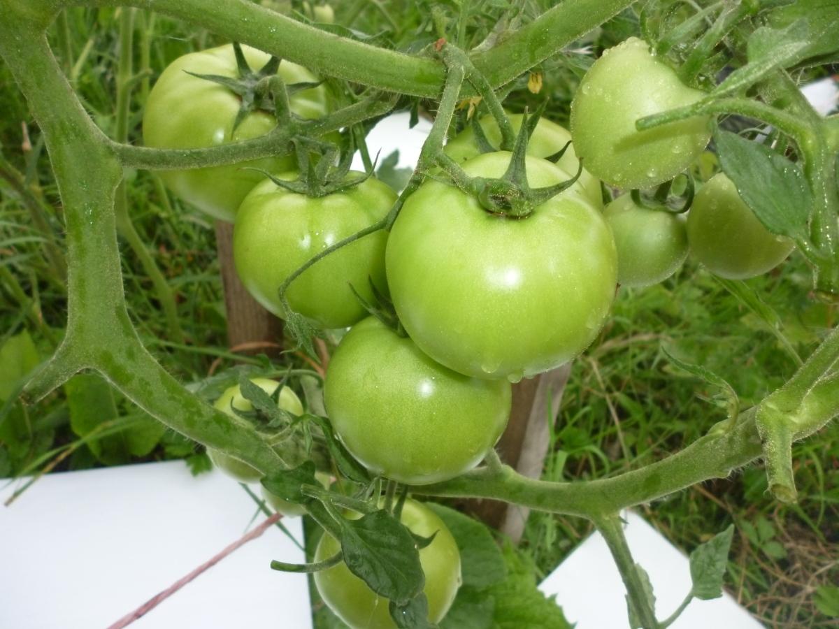 чем подкормить помидоры чтобы было много помидор