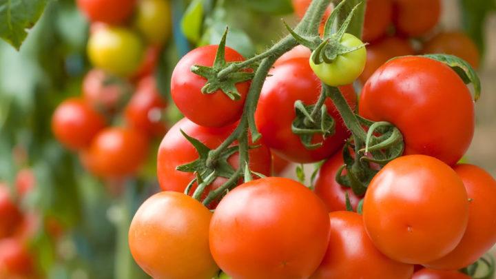 чем подкормить помидоры для быстрого созревания плодов