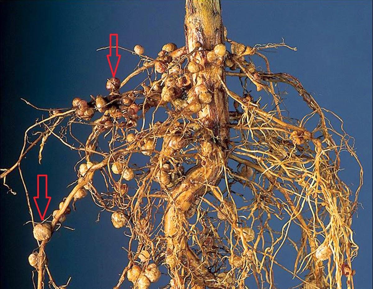 свой корневая система бобовых картинка получении