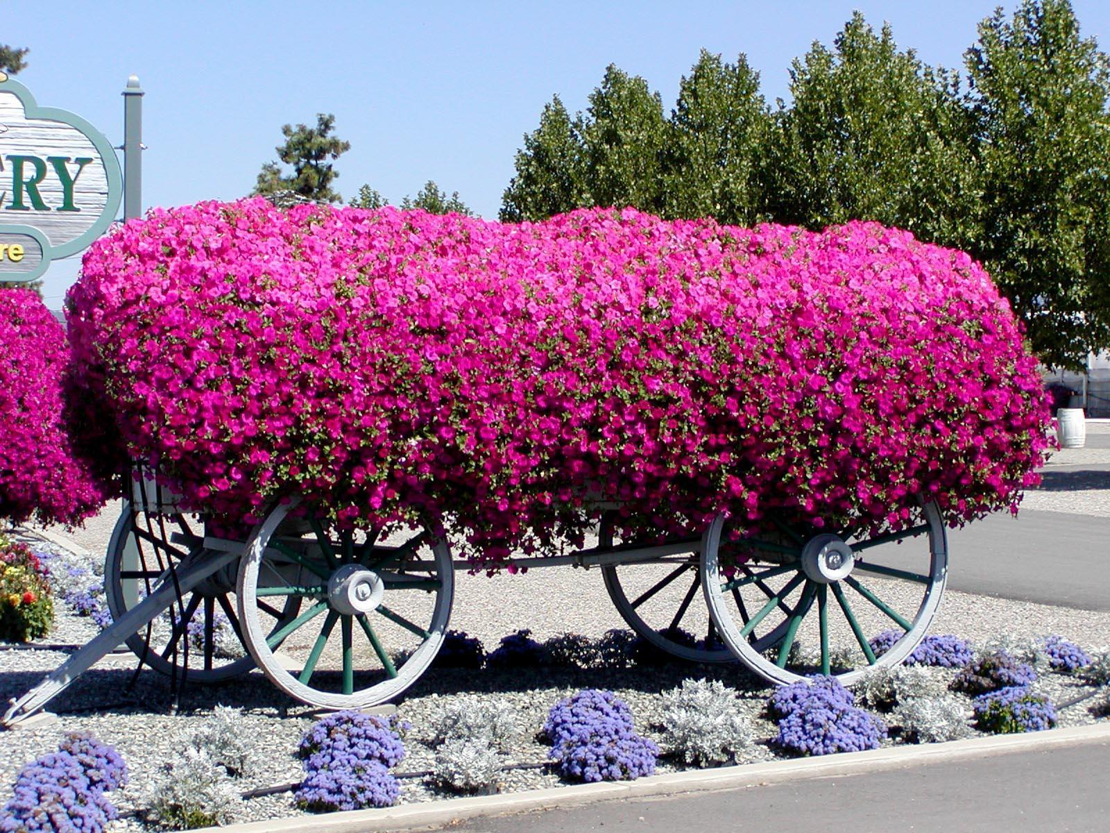 петуния подкормка для обильного цветения