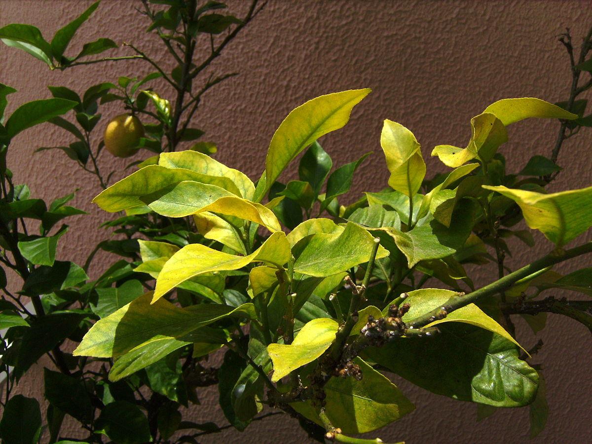 подкормка лимона