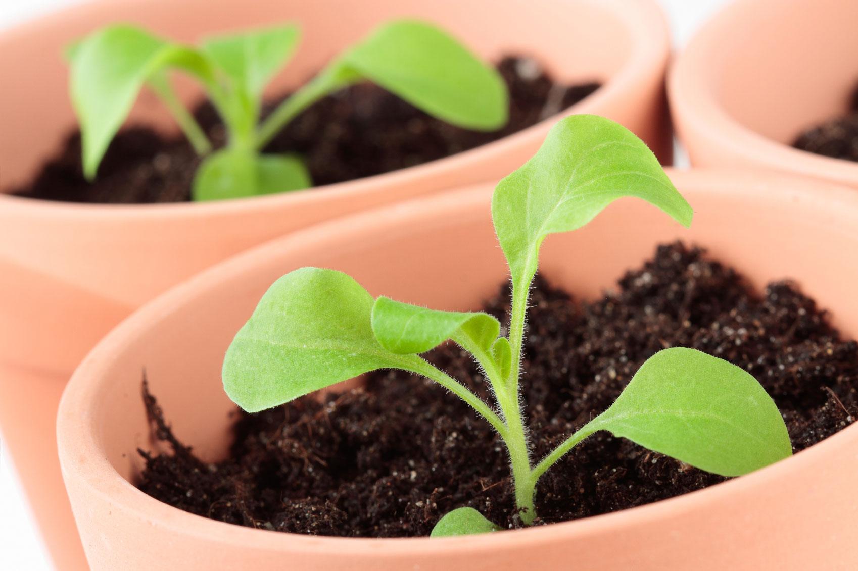 удобрения для петунии для обильного цветения