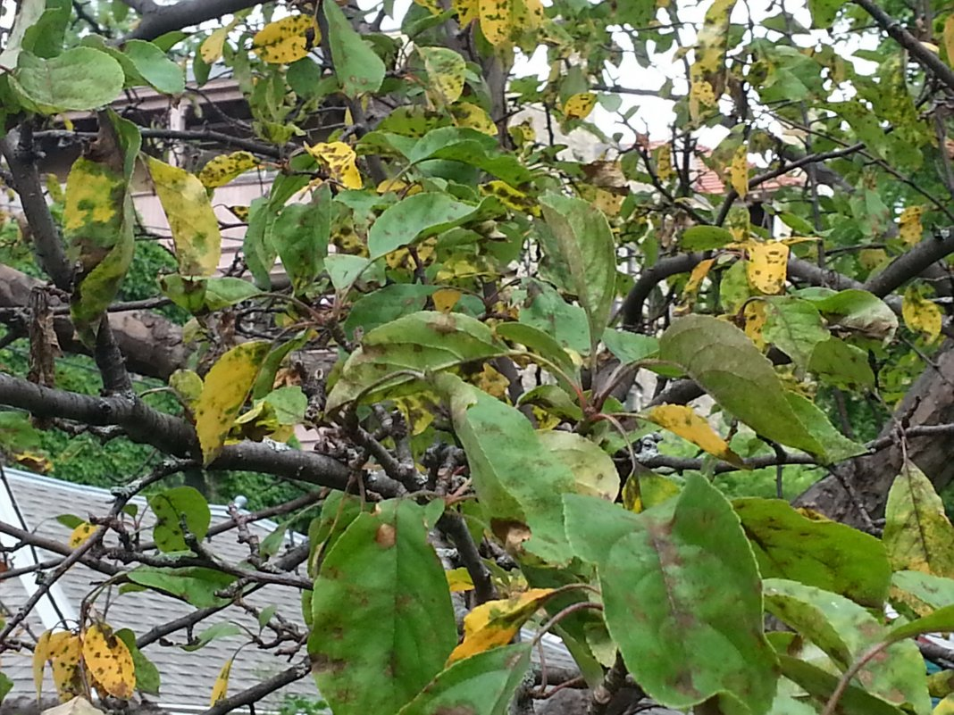 чем подкормить яблоню летом во время плодоношения