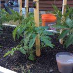 дрожжевая подкормка для помидор