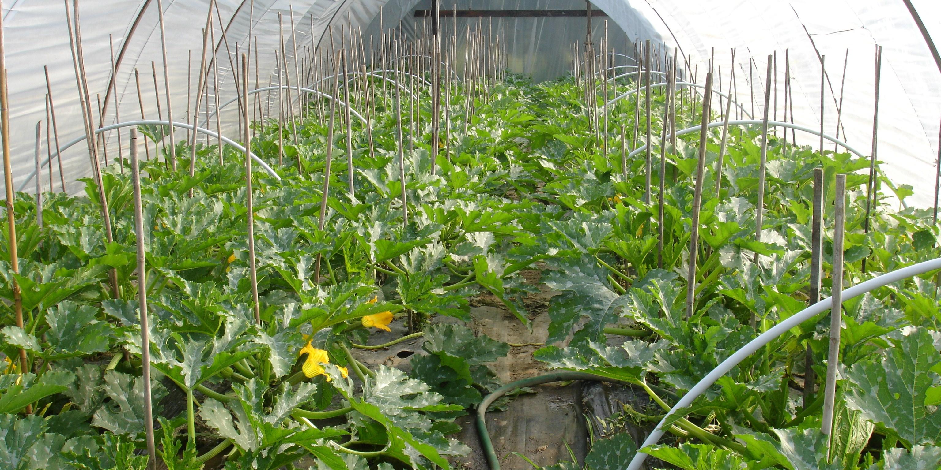 подкормка кабачков во время цветения и плодоношения
