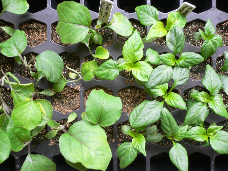 подкормка баклажанов при выращивании в открытом грунте