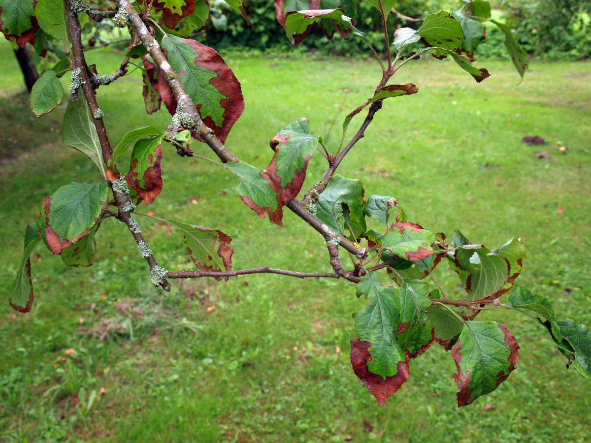 как подкормить яблоню летом