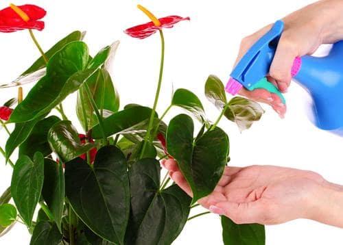 чем подкормить антуриум во время цветения