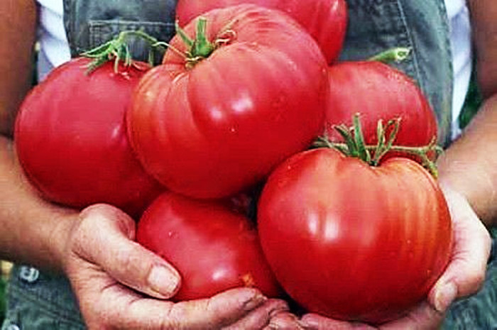 помидоры плохо наливаются чем подкормить