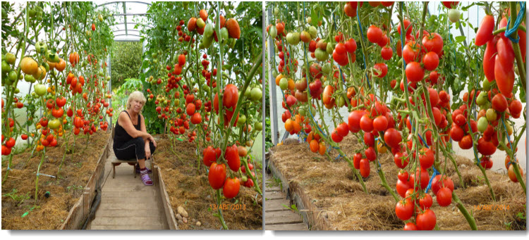 чем подкормить помидоры чтобы быстрее краснели