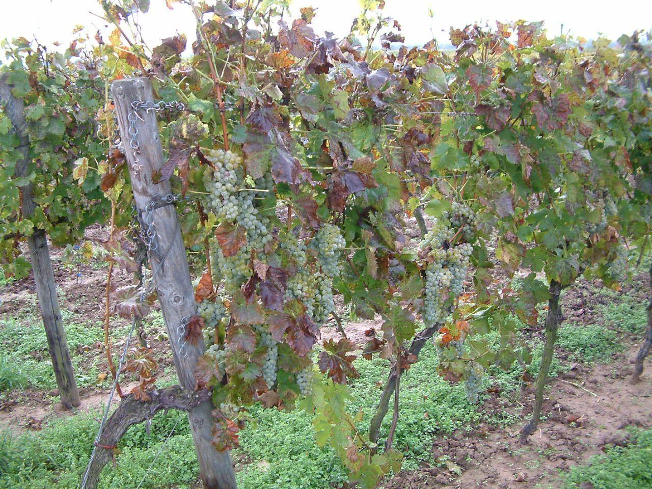 зола для винограда летом