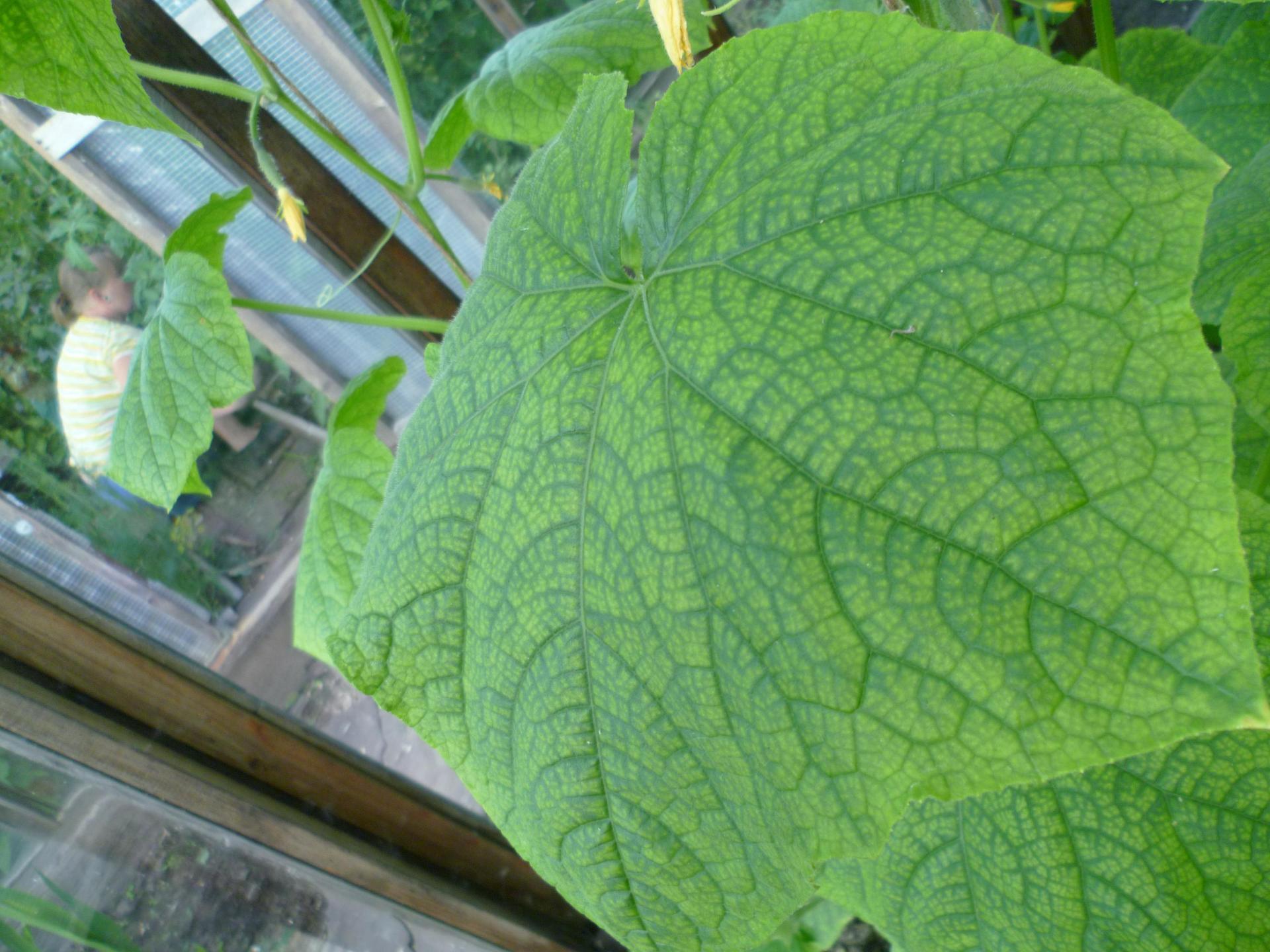 чем подкормить огурцы в теплице когда желтеют листья
