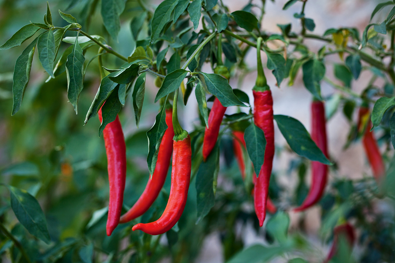 чем подкормить перец во время цветения и плодоношения