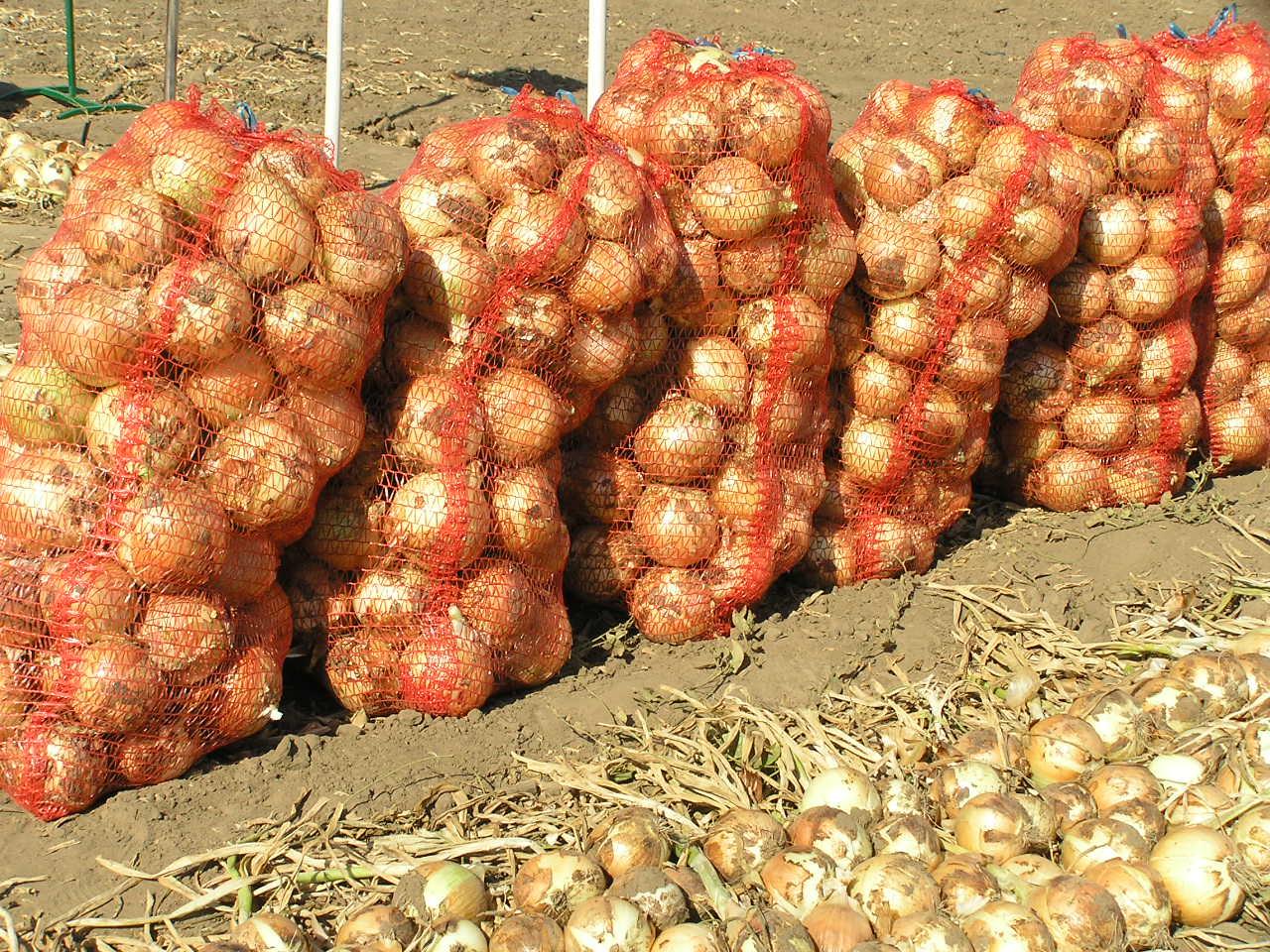 чем подкормить лук в августе