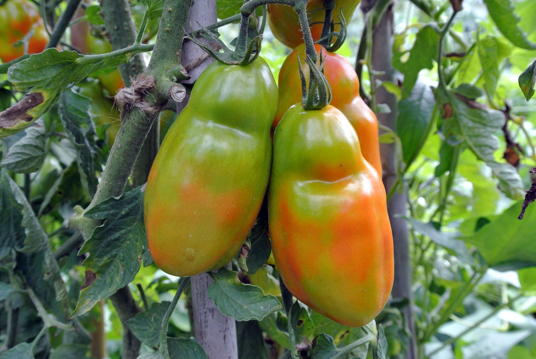 подкормка золой помидоры и огурцы