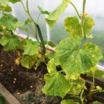 листья у огурцов светло зеленые чем подкормить