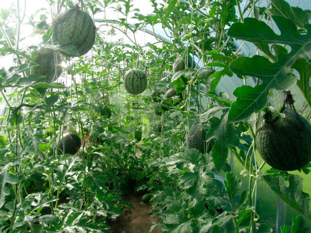 подкормка арбузов и дынь в открытом грунте