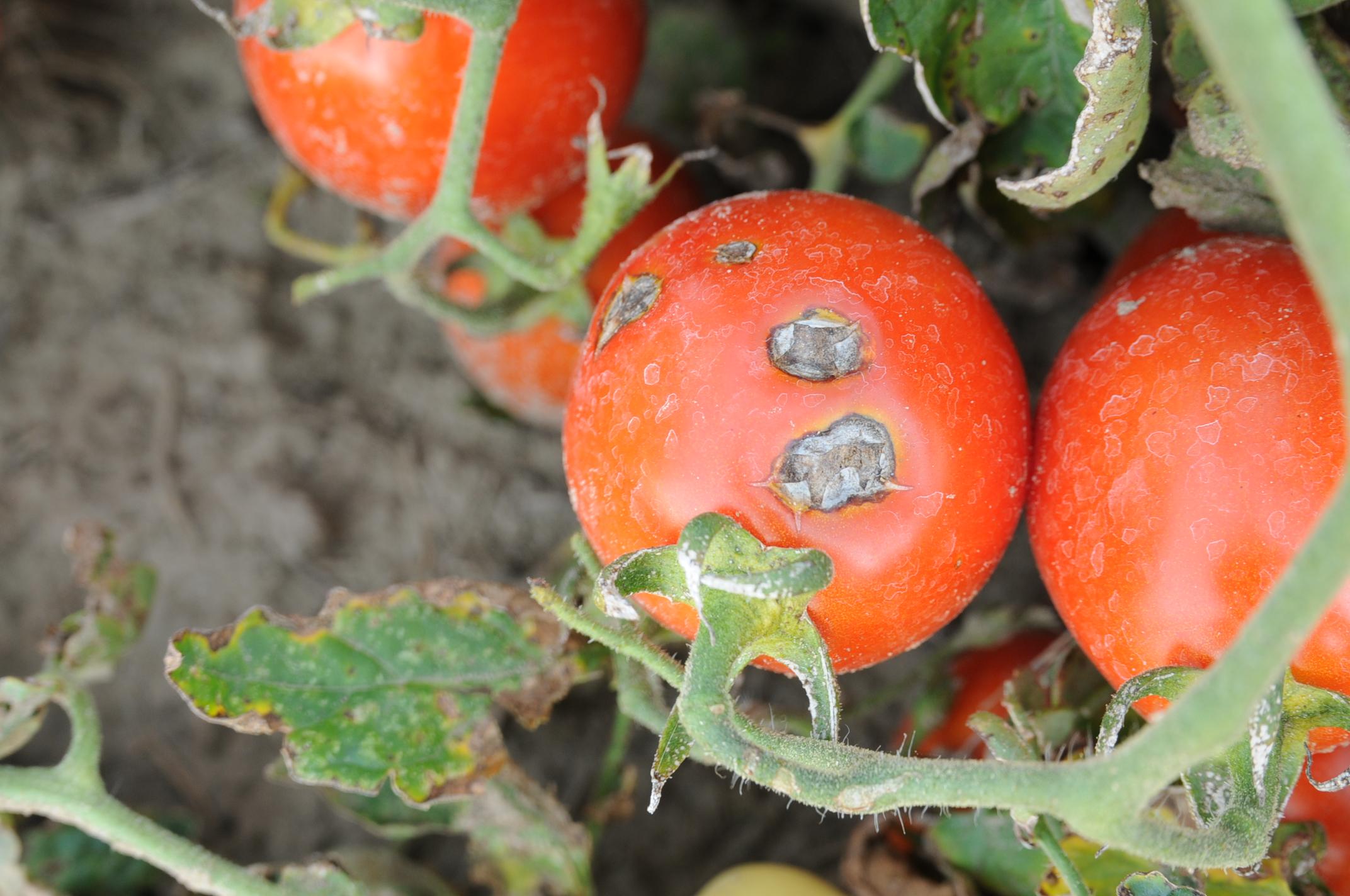 зола для помидоров