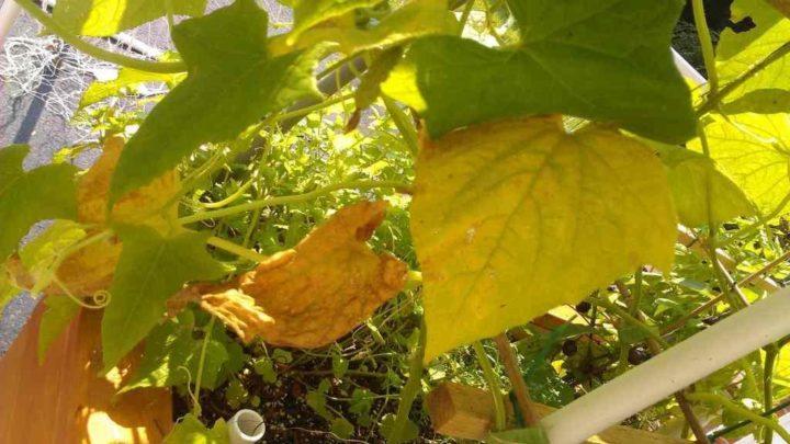 чем подкормить огурцы чтобы не желтели листья
