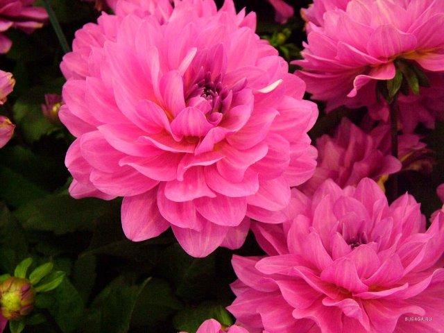 чем подкормить георгины во время цветения