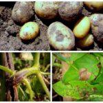 сидераты против фитофторы на картофеле