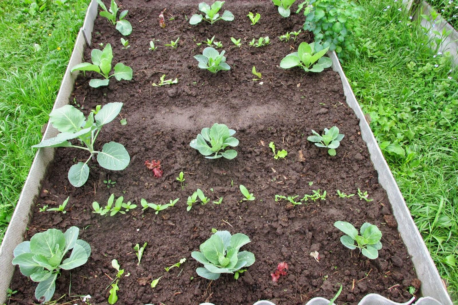 трава для удобрения почвы фацелия