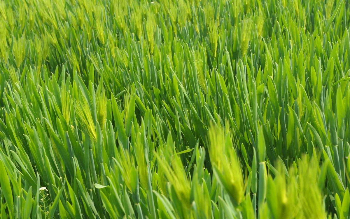пшеница как сидерат осенью