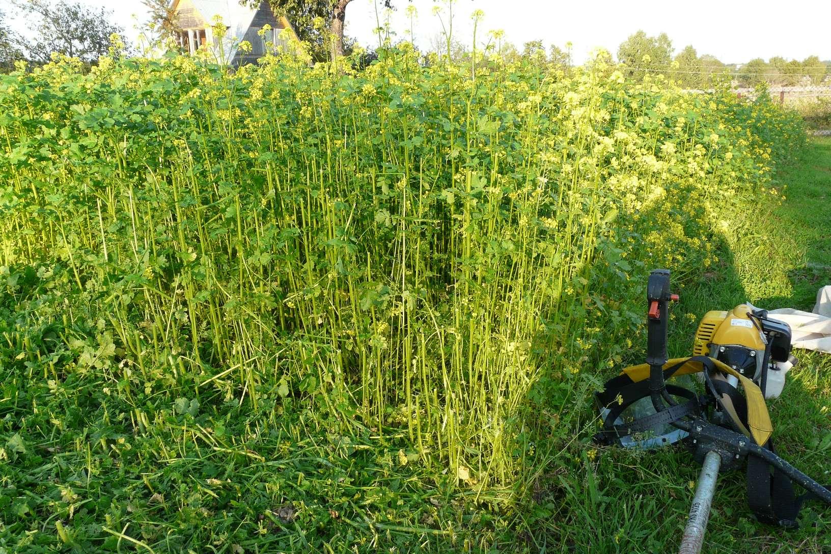 растения сидераты для огорода
