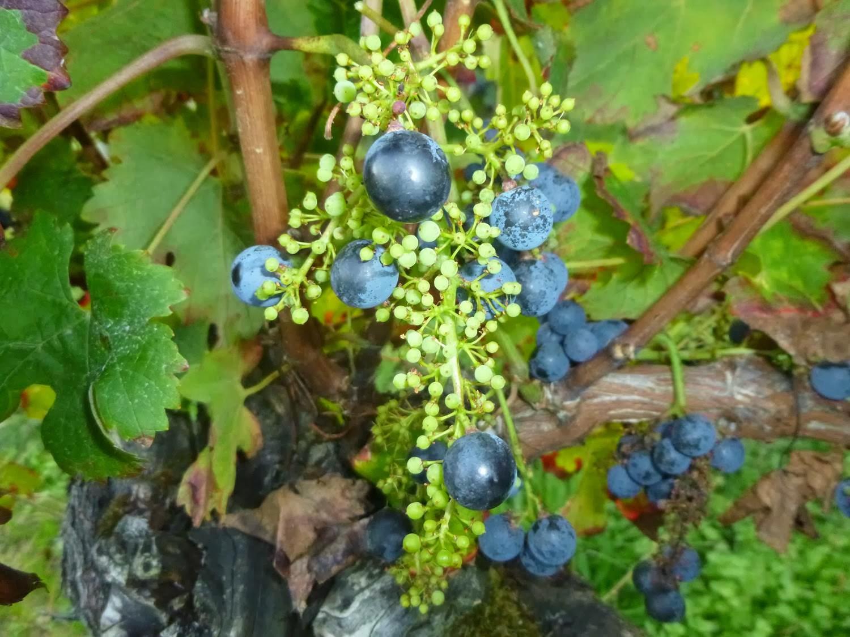 подкормка винограда летом во время созревания