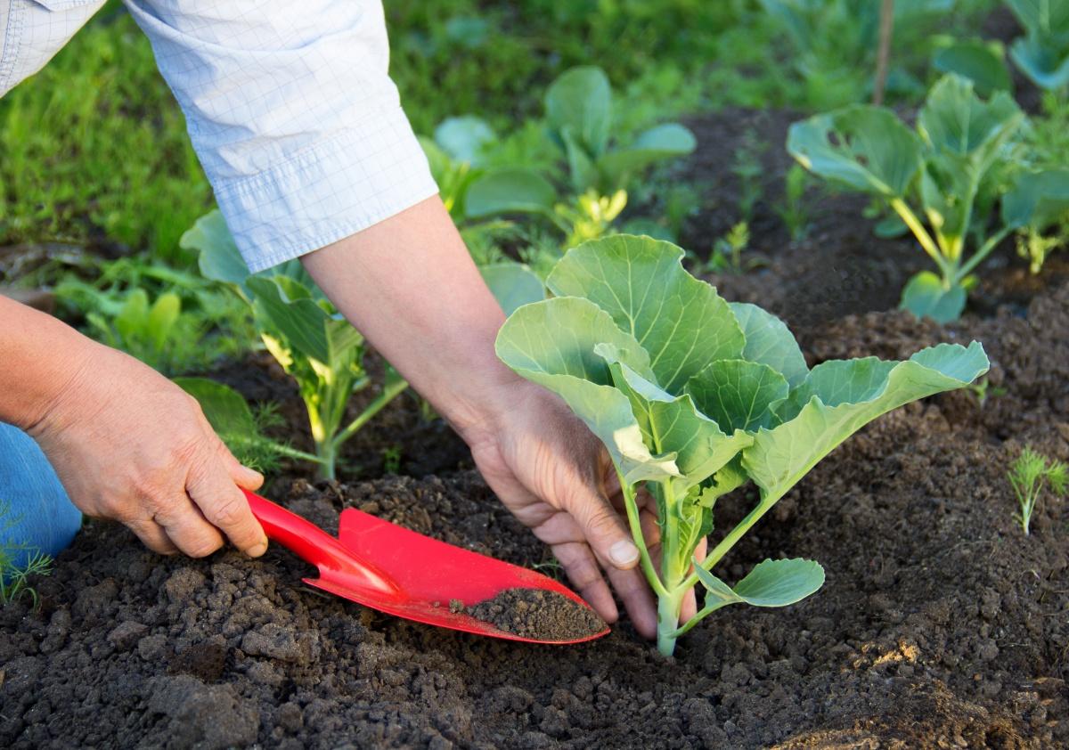 чем подкормить капусту в августе