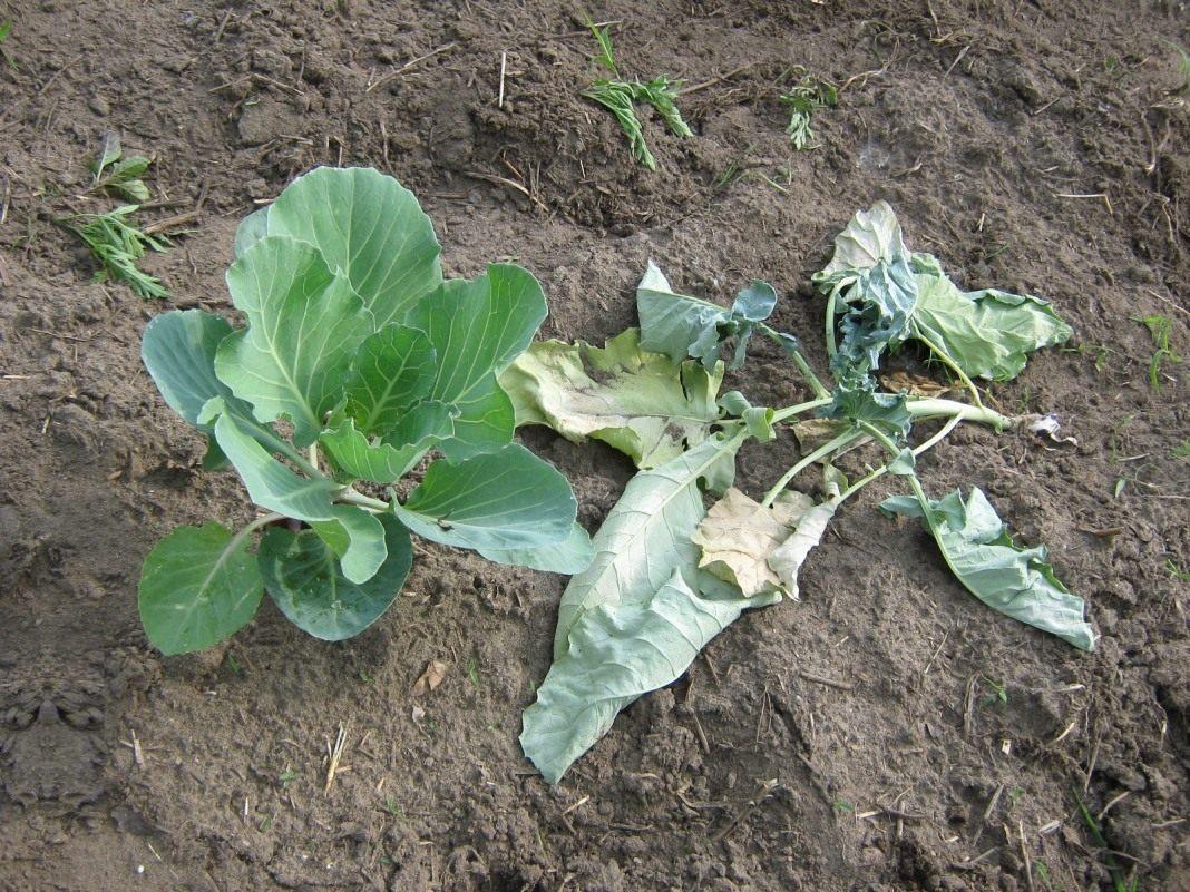 подкормка поздней капусты в августе
