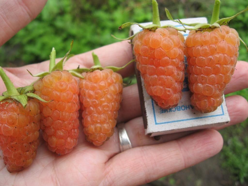 подкормка ремонтантной малины во время плодоношения