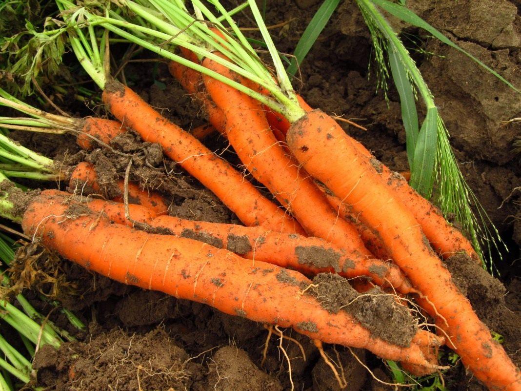 морковь плохо растет чем подкормить