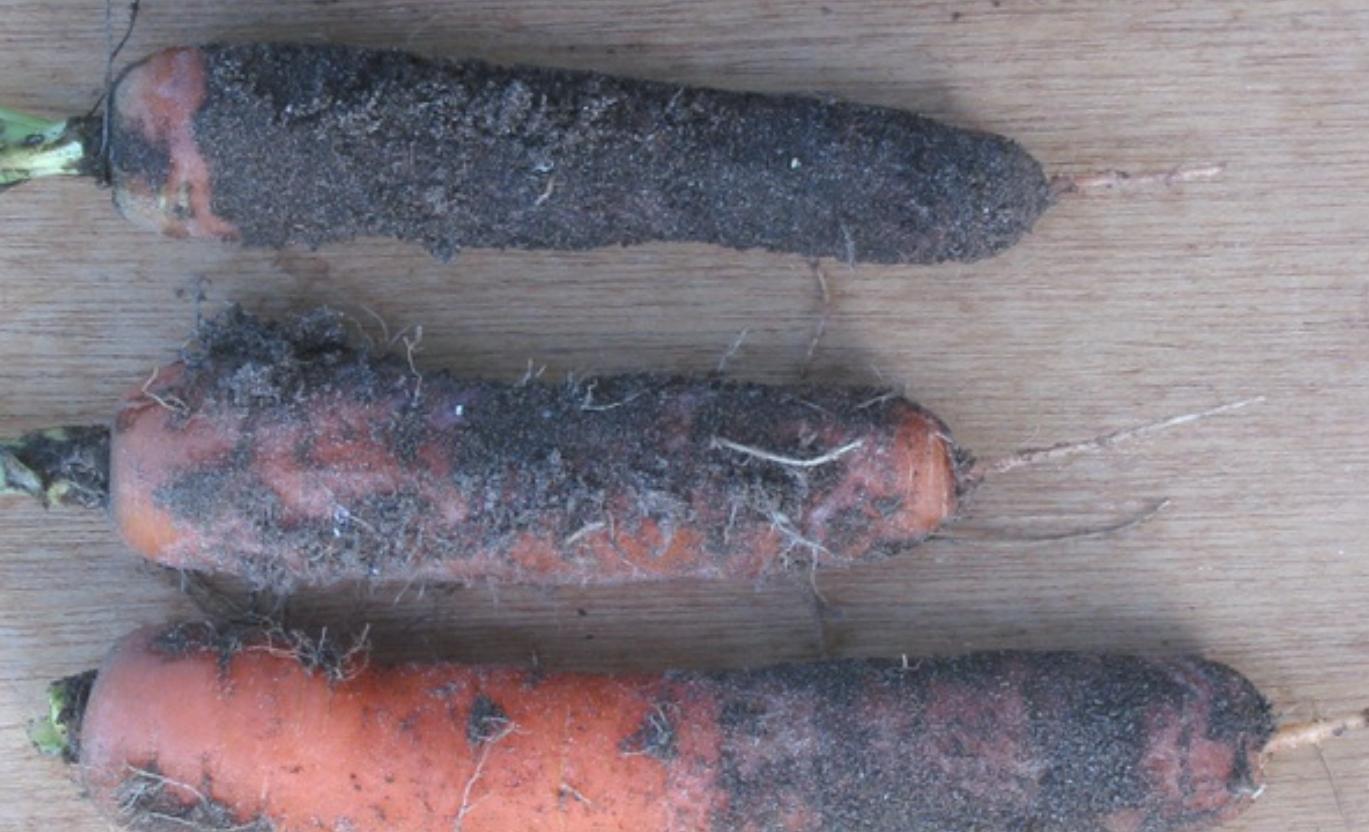 морковь подкормка и уход
