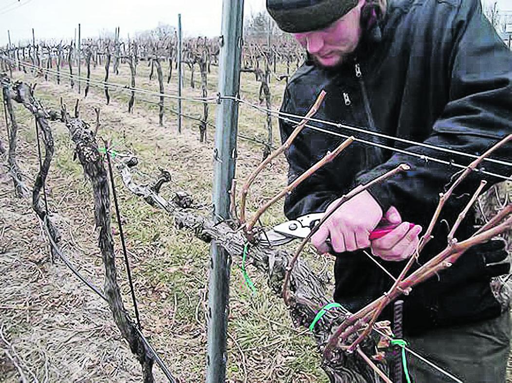 подкормка винограда когда и чем
