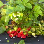 подкормка клубники осенью